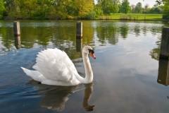 Swan at Hyde Park