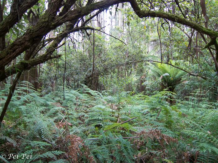 dense fern undergrowth