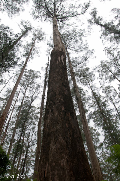 Mountain Ash (Eucalyptus regnans)