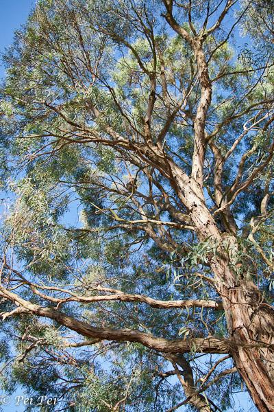 koala up high
