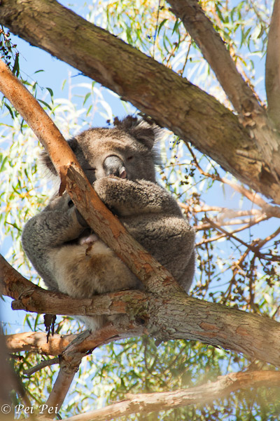 Koala up high on a gum tree