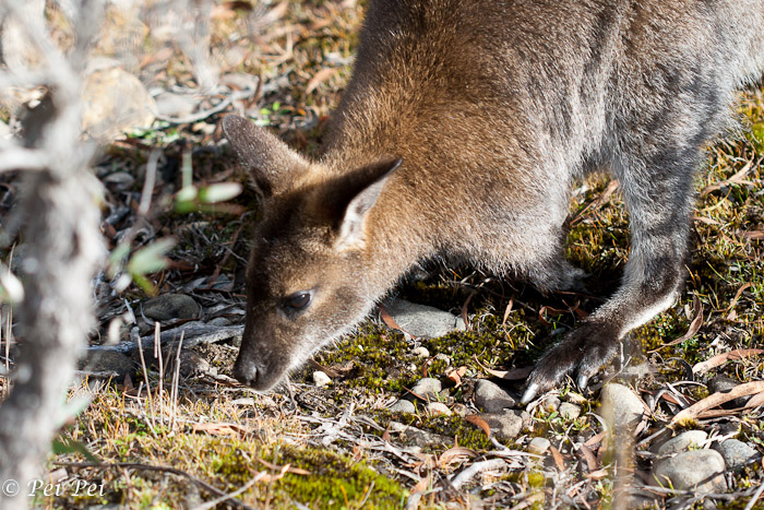 A wallaby foraging by the side of Lake St Clair.
