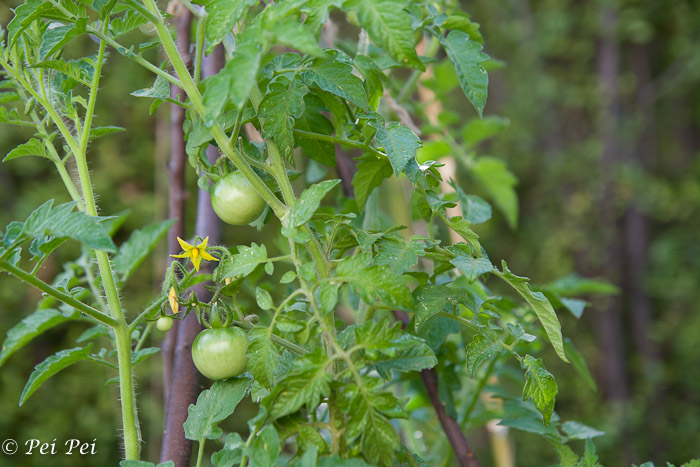tomatoes growing nicely
