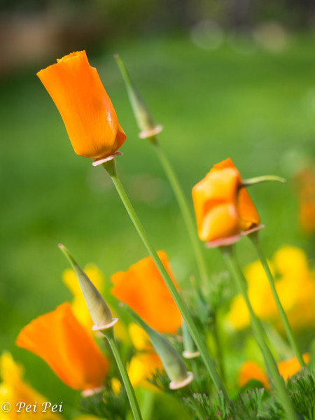My californian poppy